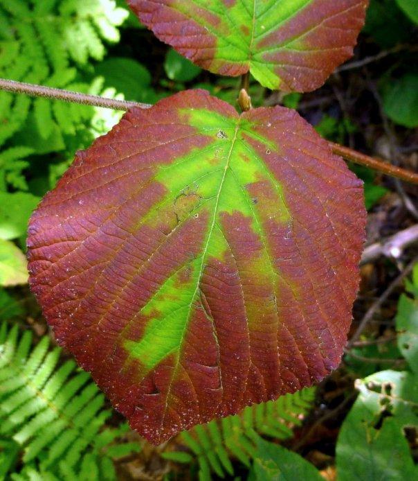 3. Hobblebush Leaf